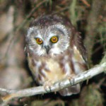 Owl at Night 2